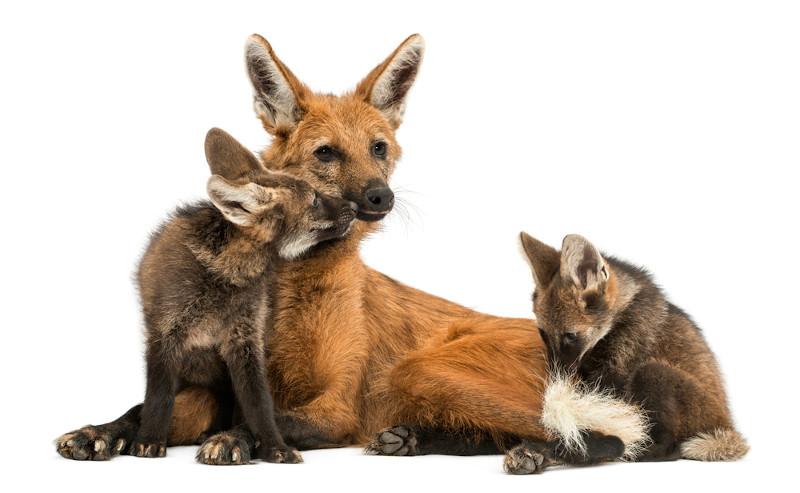 Cada gestação do lobo-guará pode originar de dois a cinco filhotes, sendo que eles têm a coloração preta.