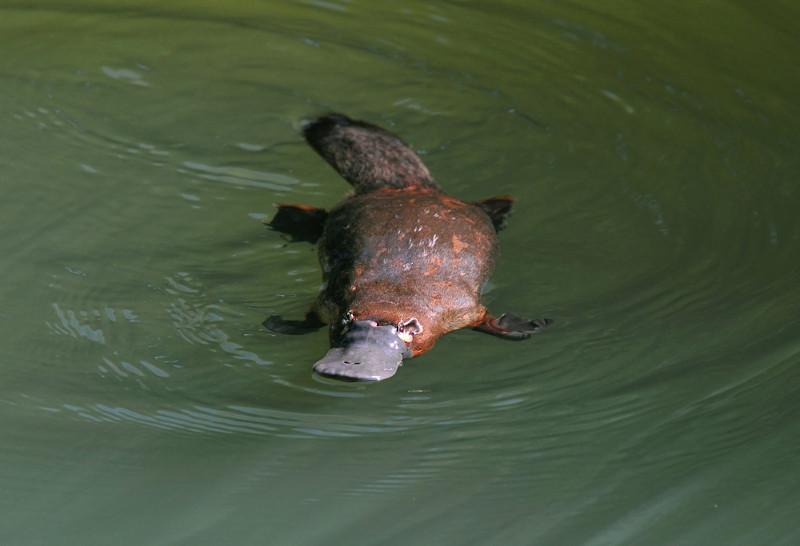 O ornitorrinco passa a maior parte do tempo dentro de corpos d'água.