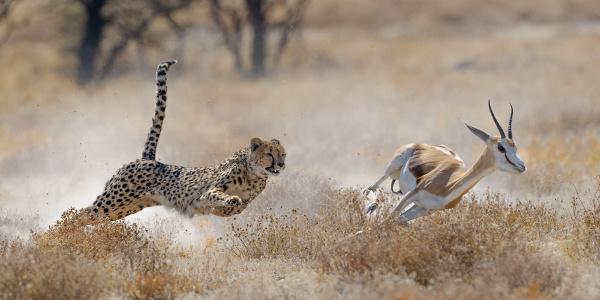 No predatismo um animal mata e se alimenta de um indivíduo de outra espécie.