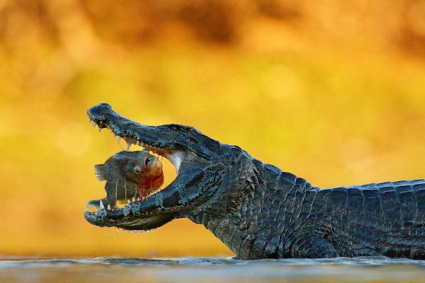 Alguns predadores apresentam adaptações, como afiados dentes, para capturar e matar sua presa.