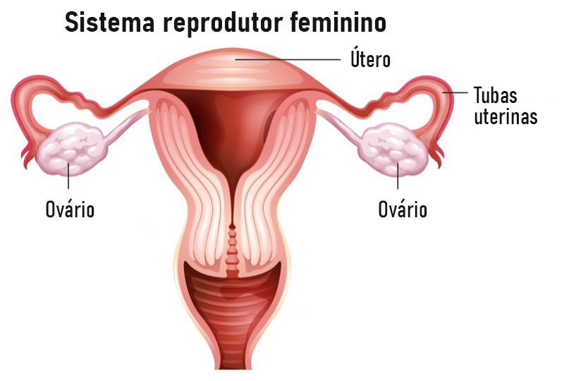 Os ovários estão presentes no sistema reprodutor feminino e comunicam-se com o útero através das tubas uterinas.