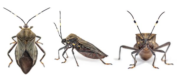 Trypanossoma cruzi
