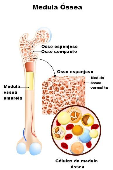 O indivíduo adulto apresenta principalmente a medula óssea amarela, estando a vermelha restrita a apenas algumas regiões, como epífises do fêmur.