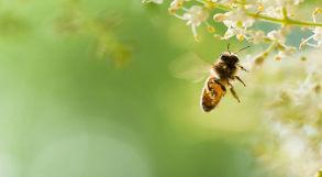 abelha poliniza a flor