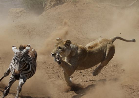 Leão caçando