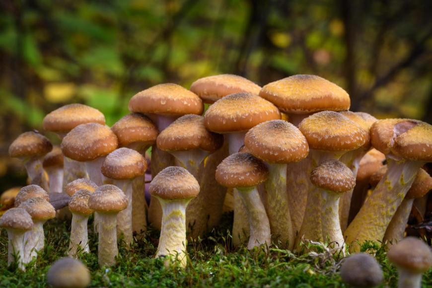 Fungos fazem parte do reino Fungi.