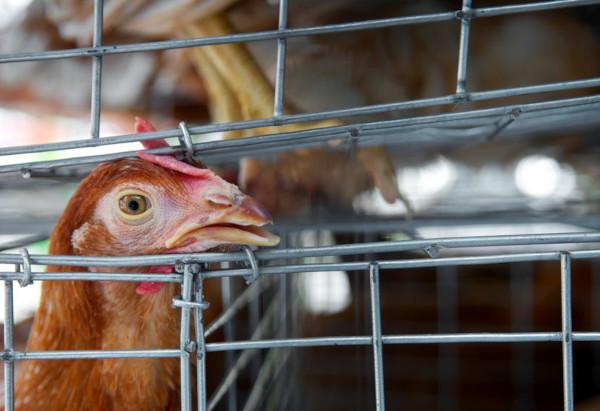 Aves domésticas podem contrair a gripe aviária devido ao contato com aves selvagens.