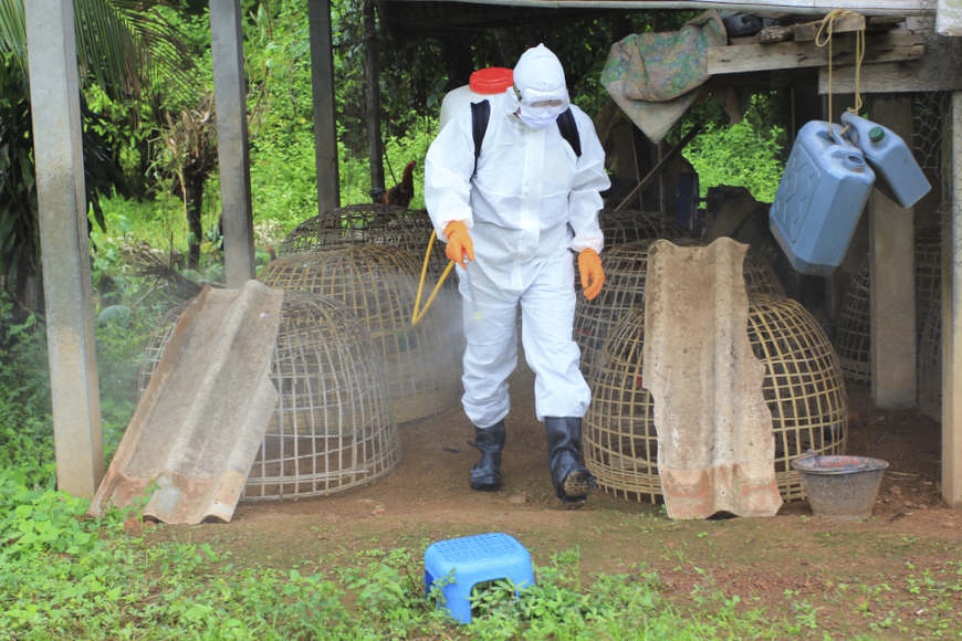 A pós a detecção de um caso de gripe aviária, é importante sacrificar esses animais e desinfectar o local.