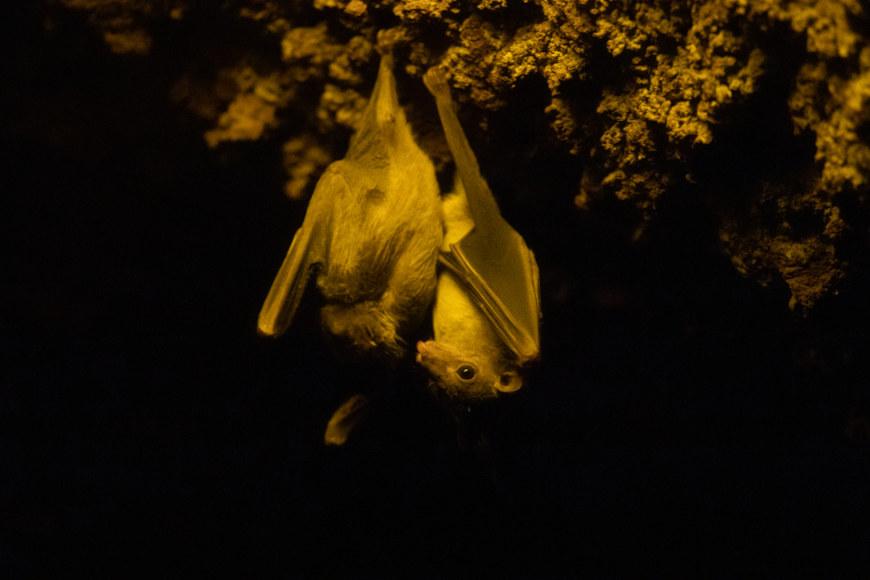Morcegos pendurados em uma árvore de cabeça para baixo.