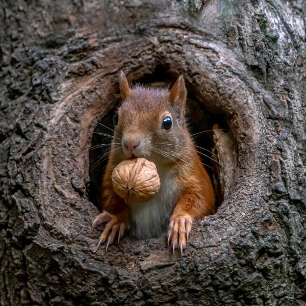 Esquilo em uma toca na árvore e com uma noz na boca.
