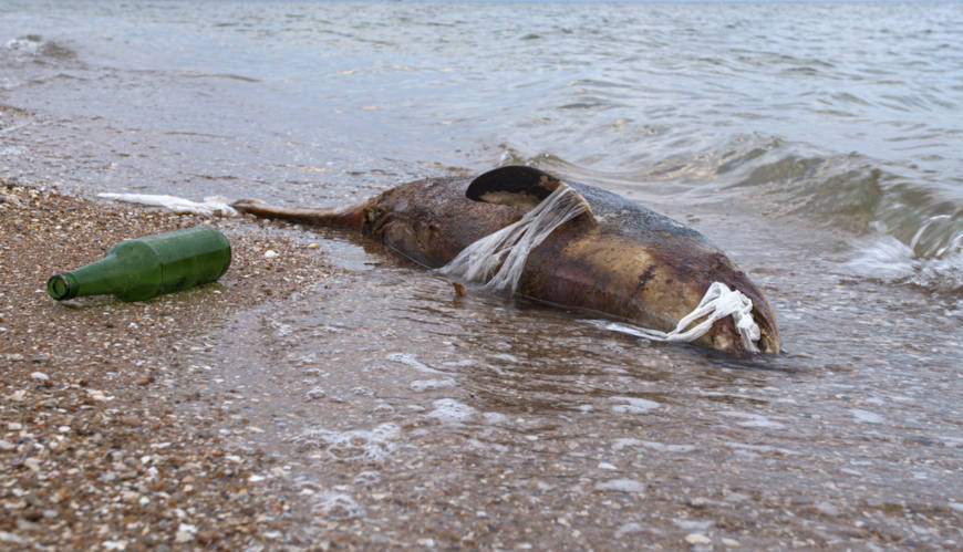 Peixe morto na praia com lixo preso no corpo
