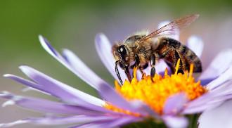 abelha cheirando flor