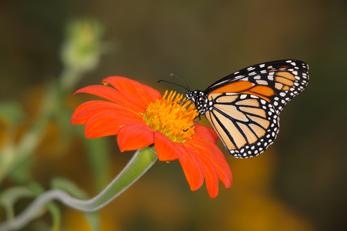 A borboleta-monarca apresenta gosto desagradável, sendo evitada pelos predadores
