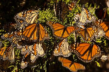 ?A borboleta-monarca possui sabor desagradável e é imitada pela borboleta vice-rei