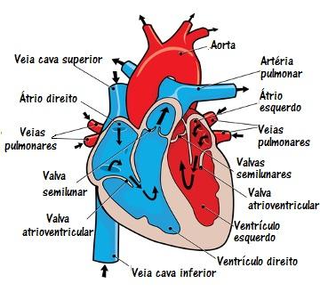 Representação esquemática da estrutura interna do coração