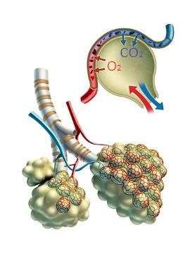Hematose é o processo de trocas gasosas que ocorre nos capilares sanguíneos