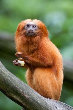 O mico-leão-dourado alimenta-se de frutos carnosos e elimina as sementes junto às fezes