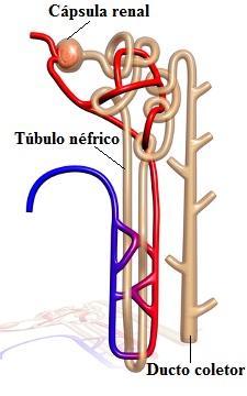 Observe o esquema do néfron, unidade funcional do rim