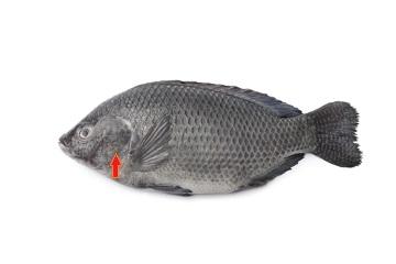 A seta vermelha indica o opérculo, uma estrutura que protege as brânquias de alguns peixes