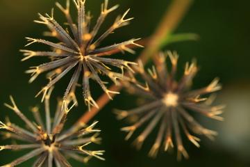 O picão apresenta um fruto com uma estrutura que possibilita a aderência ao pelo dos animais