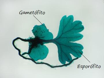 Observe que o esporófito está ligado ao prótalo no início de seu desenvolvimento
