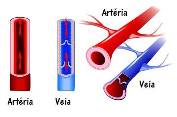 Observe as principais diferenças entre veias e artérias: espessura e presença de valvas