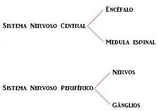 Observe a divisão do sistema nervoso e seus componentes