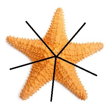 Como o corpo da estrela-do-mar é organizado em cinco raios, dizemos que a simetria é pentarradial
