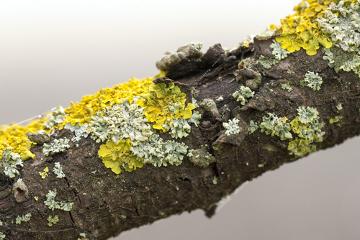 Os líquens são uma associação entre fungos e algas