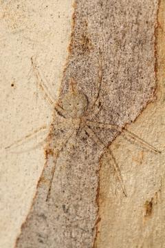 Veja como essa aranha está quase imperceptível na árvore