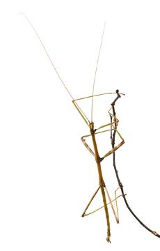 O bicho-pau assemelha-se a um graveto, dificultando, assim, a ação de predadores