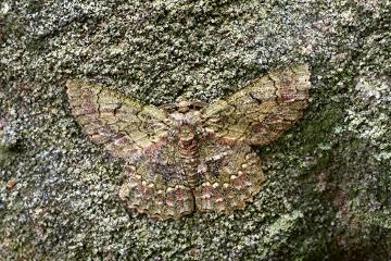 Observe essa borboleta no tronco. Quase não é possível percebê-la de longe