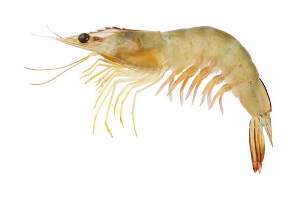 O camarão pertence ao filo dos artrópodes e ao subfilo Crustacea