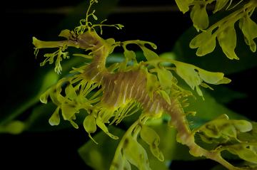 Observe como esse dragão-marinho pode ser facilmente confundido com algas no fundo do mar