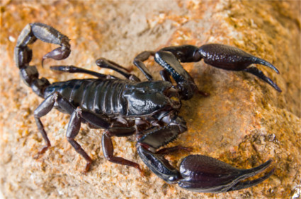 O escorpião pertence ao filo dos artrópodes e ao subfilo Chelicerata