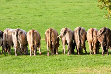 A digestão do gado emite metano para a atmosfera