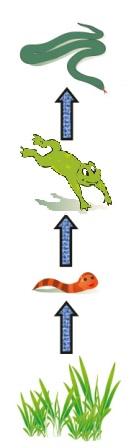 Representação esquemática de uma cadeia alimentar