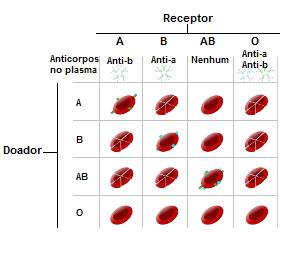 Veja a destruição das hemácias causada pela presença de anticorpos no plasma do receptor
