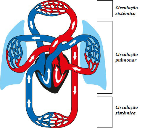 Observe atentamente a localização da circulação pulmonar e sistêmica