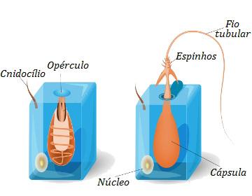 Analise a estrutura de um cnidócito antes e depois da atuação do nematocisto