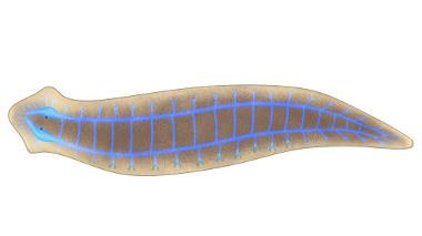Observe o sistema nervoso da planária do tipo ganglionar
