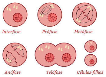 No final da mitose, obtêm-se duas células-filhas iguais em números de cromossomos