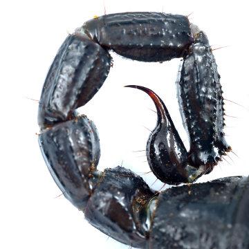 As glândulas de veneno do escorpião estão localizadas no télson