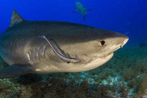 A rêmora alimenta-se dos restos de comida que saem da boca do tubarão