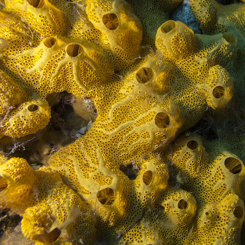 As esponjas são exemplos de organismos multicelulares