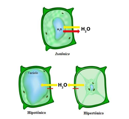 Observe a osmose ocorrendo na célula vegetal