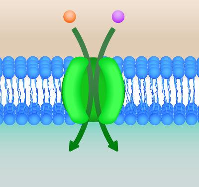 A proteína canal garante a passagem de substâncias sem gasto de energia