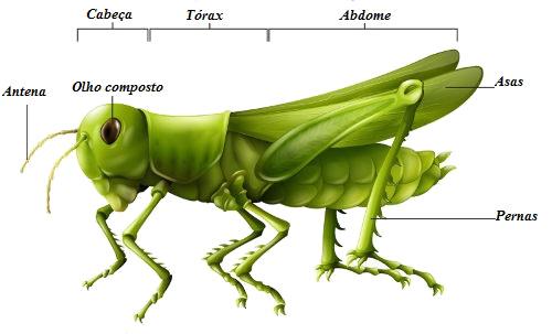 Observe algumas das principais partes do corpo de um inseto