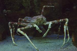 O caranguejo-aranha japonês pode apresentar até quatro metros de aberturas de pernas.