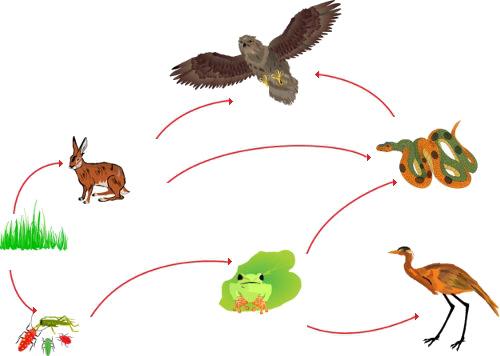 A teia alimentar mostra a conexão entre as várias cadeias de um ambiente